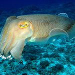 Cuttlefish have the capacity to delay gratification, according to a surprising new study from the Marine Biological Laboratory (MBL).