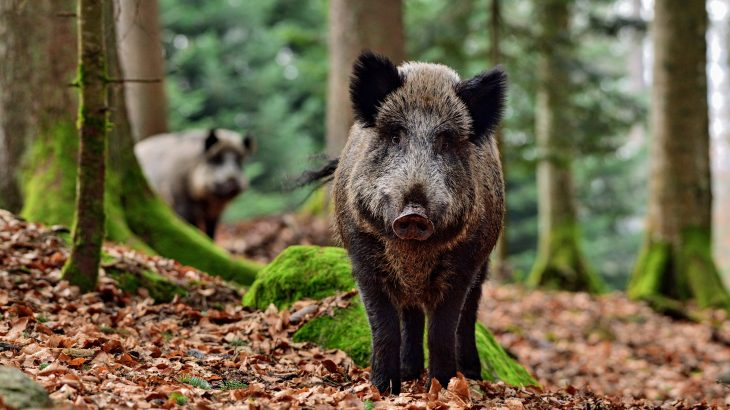 The research shows, for the first time, that wild pigs help to promote biodiversity across forest ecosystems.