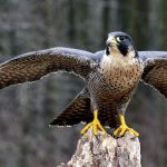 "In a new study of peregrine falcons, experts have found compelling evidence that birds have a ""migration gene."""