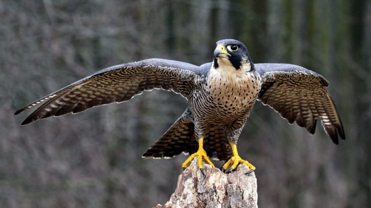 """In a new study of peregrine falcons, experts have found compelling evidence that birds have a """"migration gene."""""""