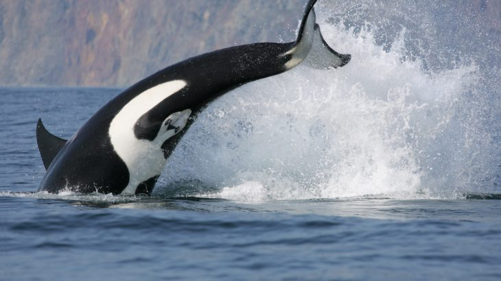 A new study has investigated the diversity of fish species that support the diets of Southern Resident killer whales