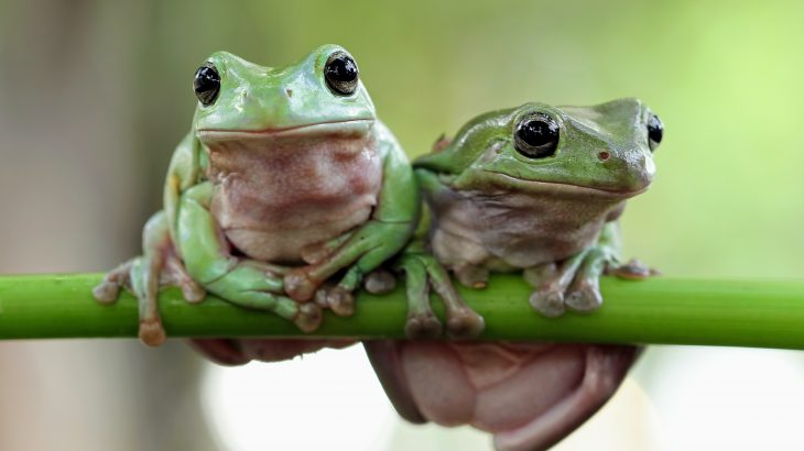 In a new study published by Cell Press, experts have discovered that frogs have lungs that act like noise-canceling headphones.