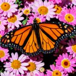 Declining butterfly populations have been linked to fall warming and drier conditions in the western United States