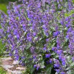 Catnip is a perennial herb in the mint family that is best known for its calming effect on cats.