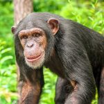 Even though chimpanzees are typically divided into four geographical subspecies, some studies have found evidence of genetic connectivity among all populations