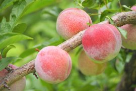 scientists have identified genes that could help domesticated peaches become more resistant to the pressures associated with climate change.