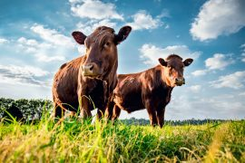 Seaweed supplements can reduce livestock methane emissions without affecting meat quality, according to a new study published by PLOS.