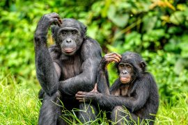 A new study from Durham University reveals evidence that two infant bonobos may have been adopted by adult females belonging to different social groups