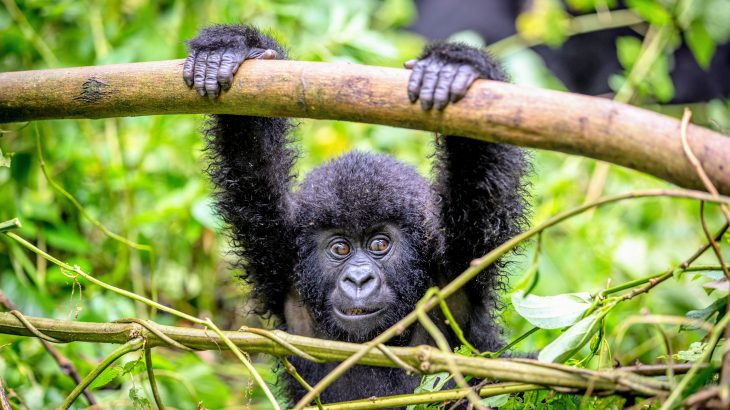 The researchers used more than five decades of data to investigate how maternal loss influences relationships, survival, and future reproduction among young mountain gorillas.