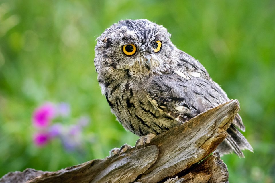 Scientists at the Field Museum have discovered two new species of screech owls in the Amazon and Atlantic rainforests