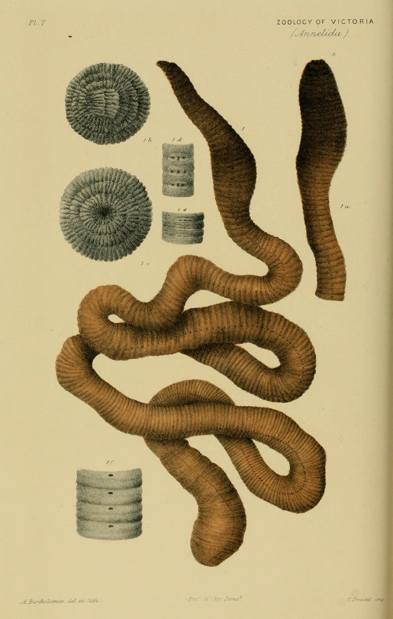 Australian Gippsland Giant earthworm