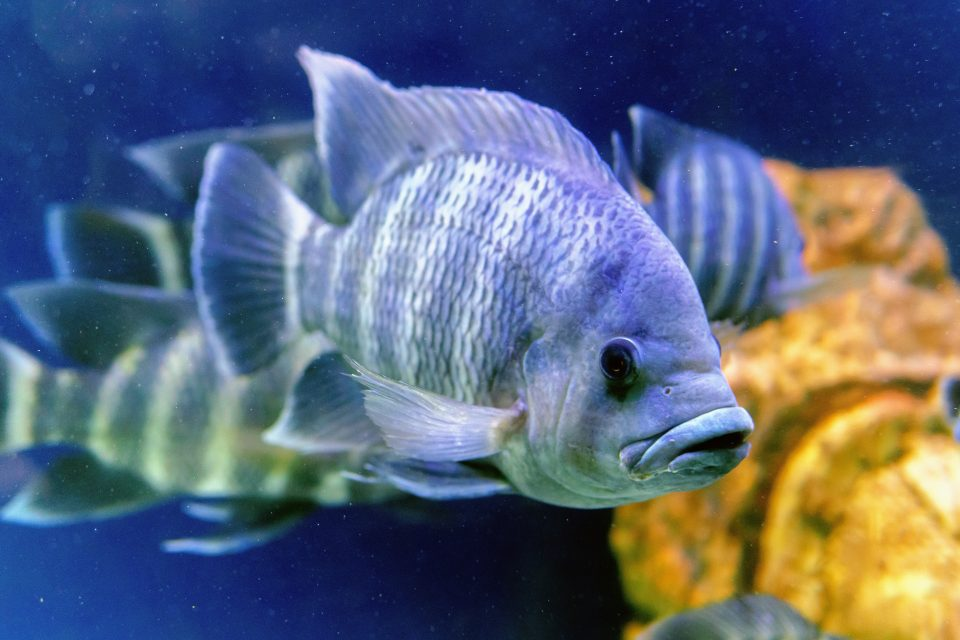 A new study from the University of British Columbia reveals that tilapias do not die in stressful conditions like most fish