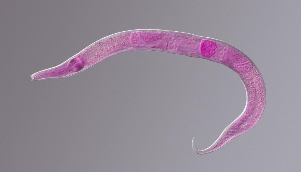 pink nematode