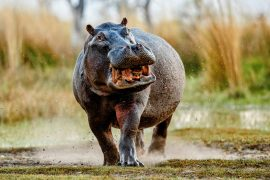 The unique skin adaptations of hippos and whales did not come from a common ancestor, according to a new study from the American Museum of Natural History