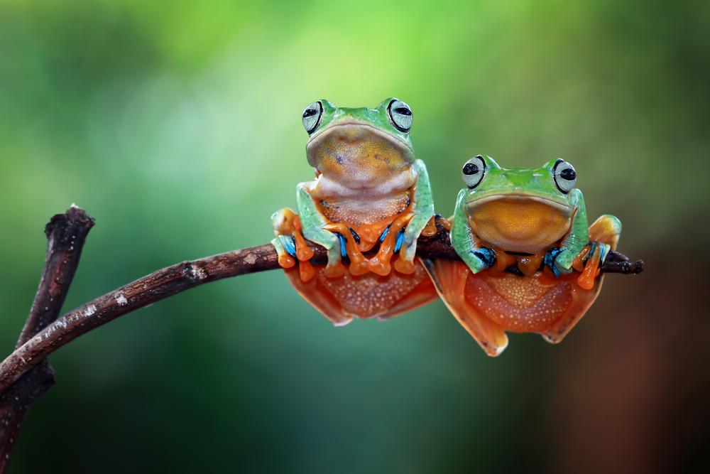 chordate frog