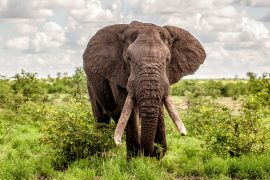 While many animals are seriously threatened by habitat loss, a new study from Colorado State University reveals that African elephants do not fall into this category.