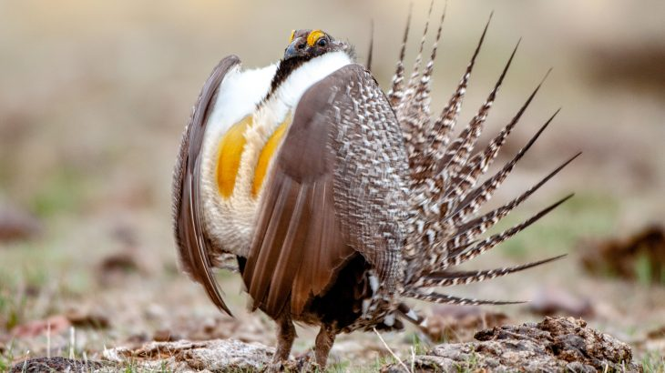 A new report from the U.S. Geological Survey has revealed that greater sage-grouse populations have declined dramatically over the last six decades