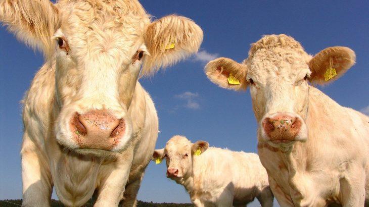 cows husbandry