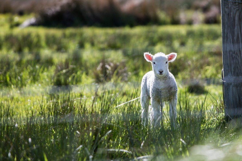 lamb husbandry