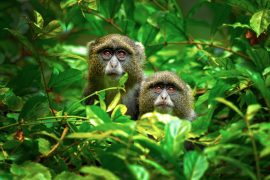 """A team of researchers at the Wildlife Conservation Society (WCS) has discovered that a group of female monkeys use males as """"hired guns"""" for protection"""