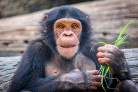Animals are able to create their own cultures just like humans, according to a study led by Professor Andrew Whiten at the University of St. Andrews.
