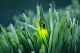 Researchers at Tel Aviv University are describing a potential new defense mechanism that fireflies use to protect themselves from bats.