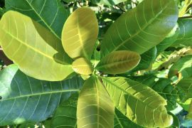 Tropical plants with thick leaves will likely respond very successfully to rising levels of atmospheric carbon dioxide, according to a new study from the University of Washington.