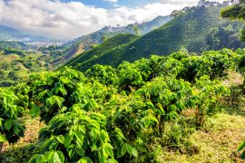 A new study from the University of Illinois reveals how climate change is impacting coffee production in Colombia, the third largest producer in the world.