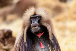 Male baboons who achieve a high social rank do not live as long as males with lower social status, according to a new study from Duke University