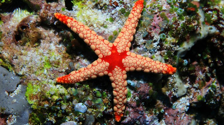 Experts have discovered that baby sea stars eat their smallest siblings in order to survive.