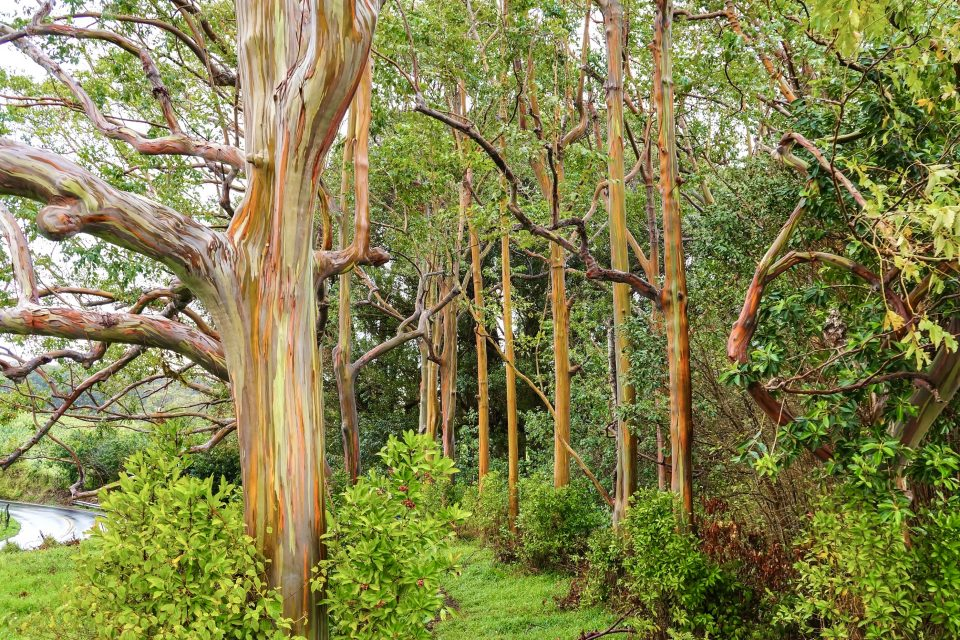 Eucalyptus trees can be genetically modified to prevent them from reproducing and invading native ecosystems, according to a study from Oregon State University.