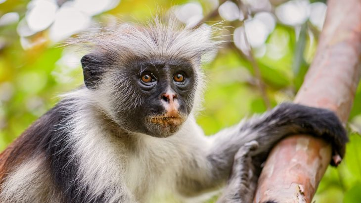 The researchers found that there has been a drastic reduction in the number of deaths of red colobus monkeys after four speedbumps were installed