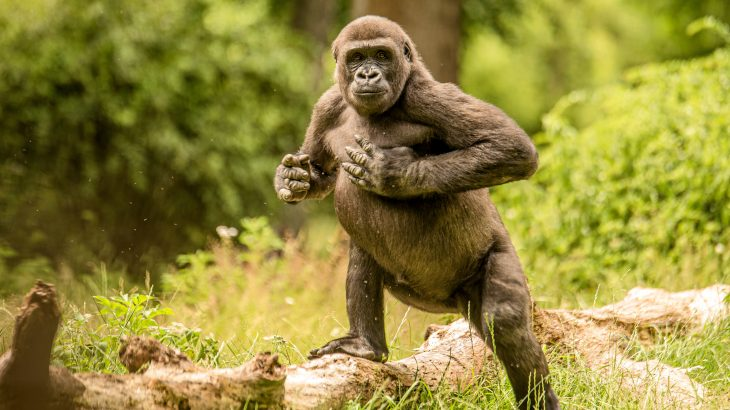 Experts at the Max Planck Institute for Evolutionary Anthropology have determined that chest beating conveys information about the identity and body size of mountain gorillas.