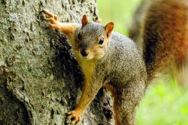 A new study from the University of Edinburgh has revealed that squirrels have bigger brains than their closest living relatives