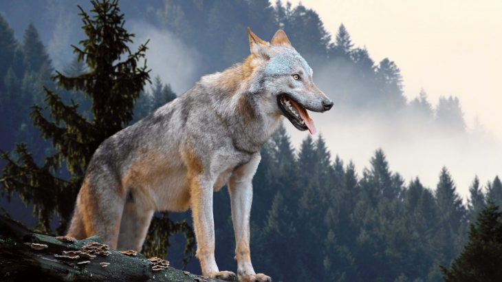 Gray wolves became one of the largest predators to survive the last ice age by changing their diet, according to a new study from the Canadian Museum of Nature.