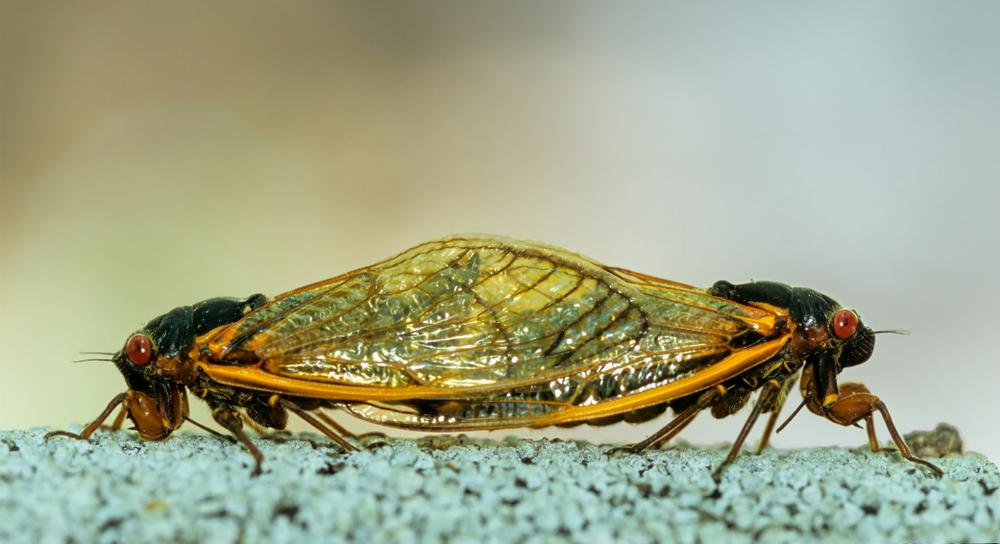 cicadas mating brood x