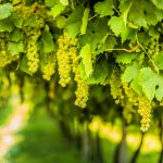 The residue from wine grapes could be beneficial to human health, according to a new study from UC Davis.