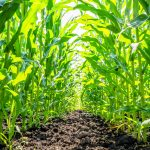 The experts demonstrated that corn waste can be transformed into activated carbon to filter pollutants out of drinking water.