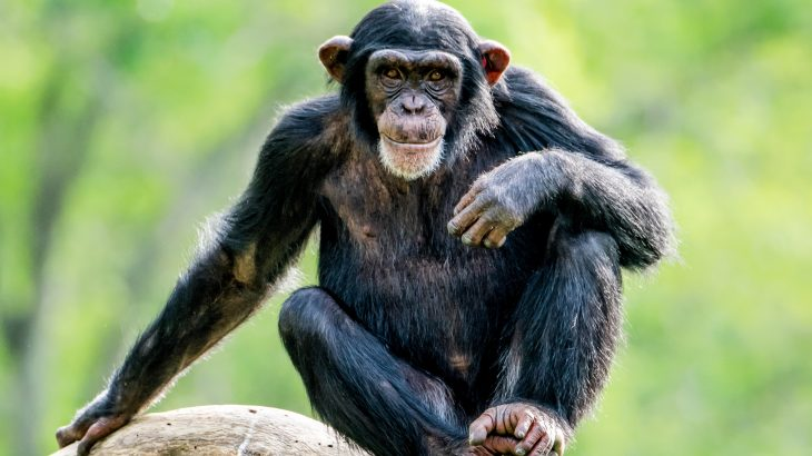 In a recent study, nearly half of all fecal samples collected from the chimpanzees were found to contain bacteria that is resistant to a major class of antibiotics.