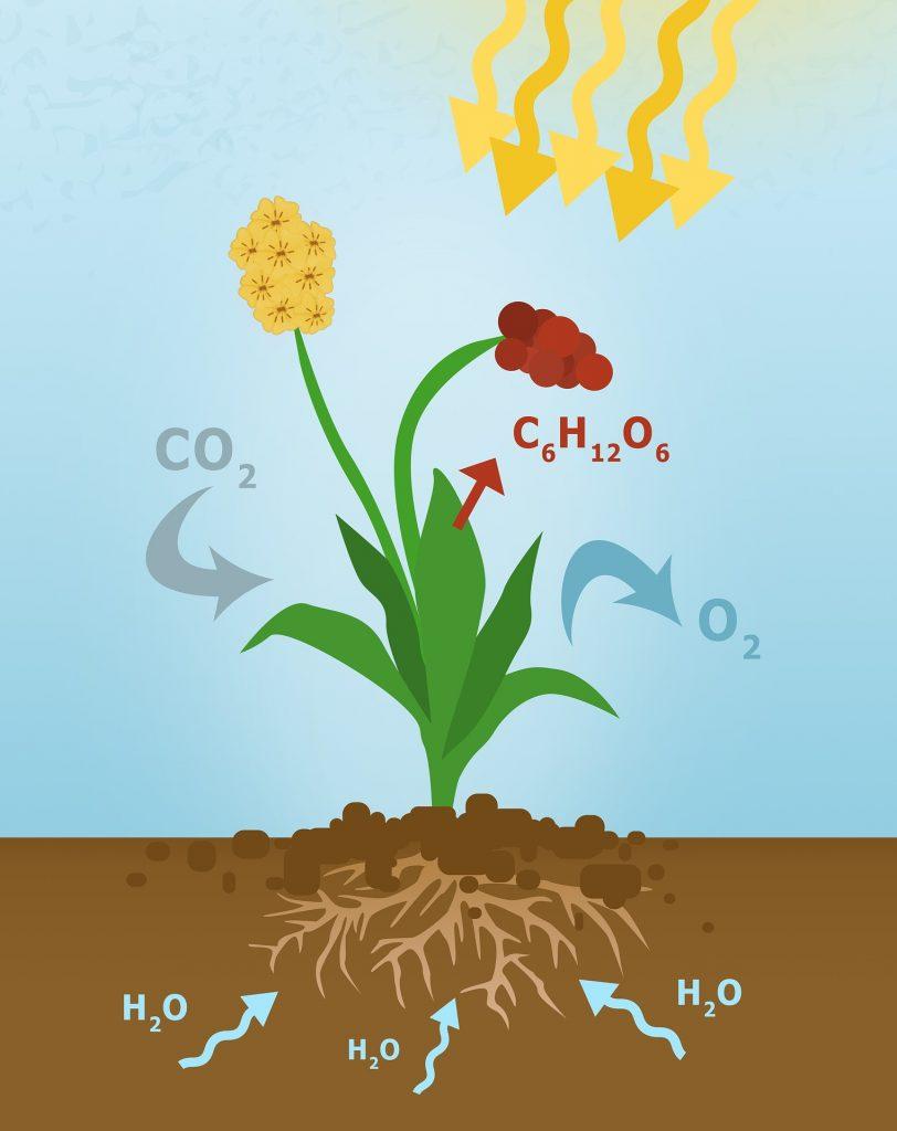 photosynthetic equation