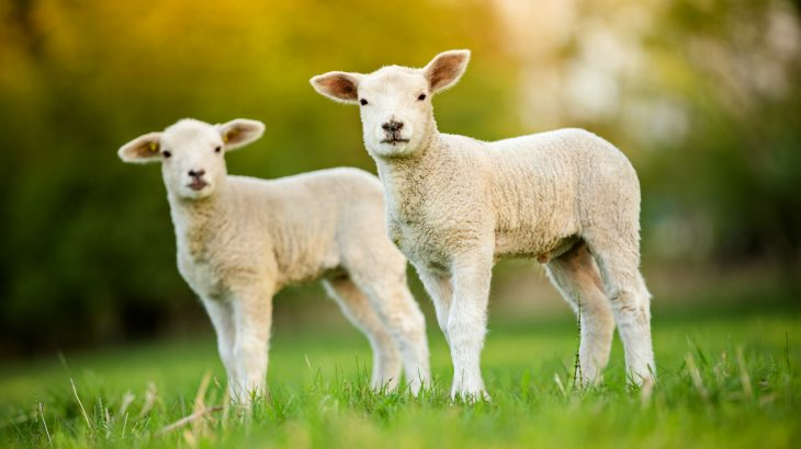 The combination of lamb grazing and solar energy production increases the overall productivity of land, according to a study from Oregon State University.