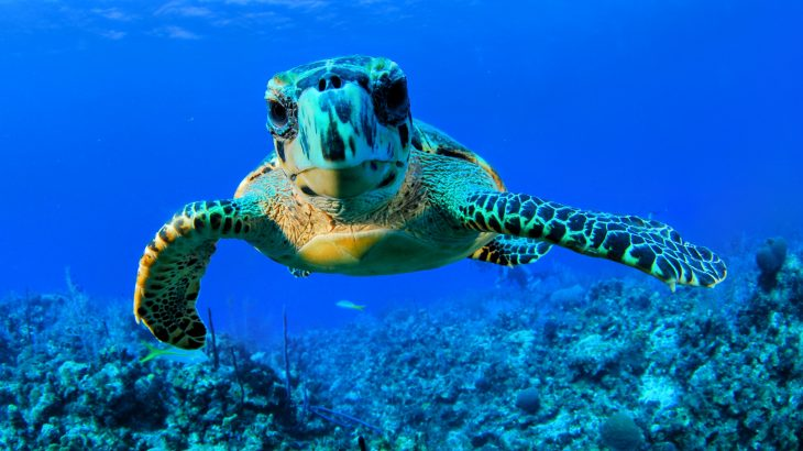 Sea turtles are making a comeback in the Cayman Islands after they were nearly wiped out two decades ago, according to a study from the University of Exeter.