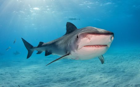 The researchers found that large tiger sharks, in particular, choose not to evacuate before a storm, but instead prepare to feast on other animals that perish