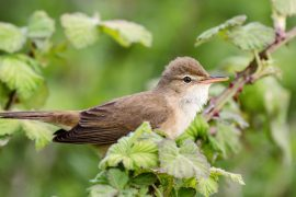 Experts at Lund University have discovered that great reed warblers fly at extreme altitudes during daylight hours