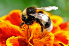 A new study from the University of Exeter reveals that large bumblebees go to work earlier in the morning, despite the risks involved