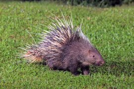 Porcupines are being illegally hunted and exploited for meat and medicine in Indonesia, according to a new study published by Pensoft.