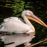 Pelicans have more breeding success when they are given the freedom to choose their social relationships, according to a new study from the University of Exeter.