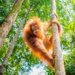 A new study has revealed that orangutans on the island of Borneo in Southeast Asia are severely threatened by food shortages