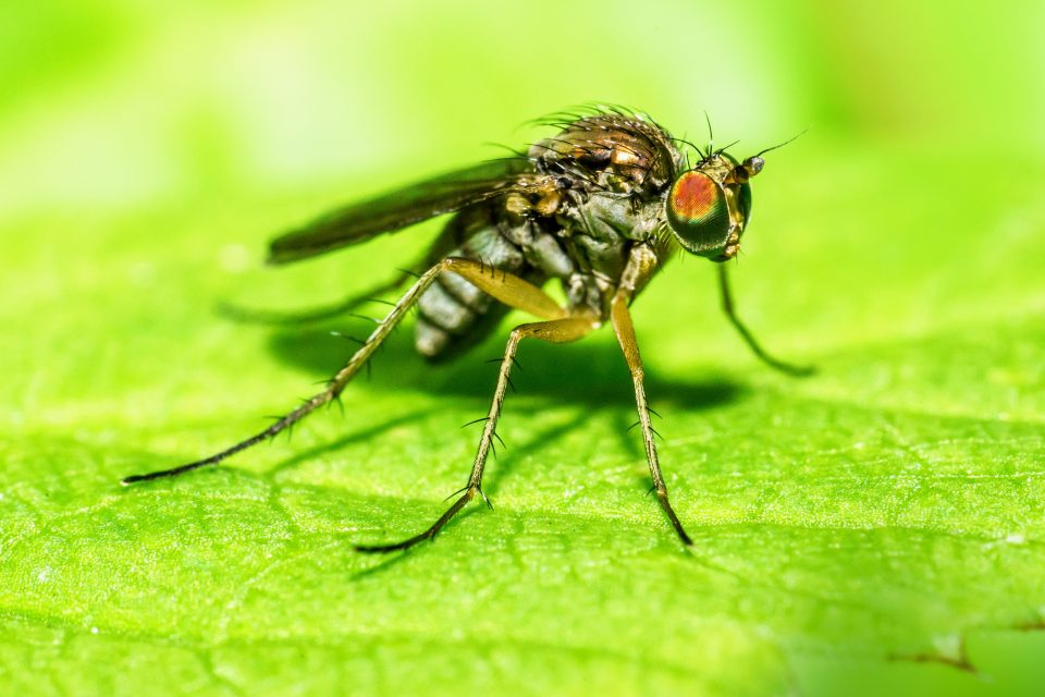 After meticulously counting the neurons in fruit flies and three species of mosquitos, the experts found that their brains contained an average of 200,000 cells.