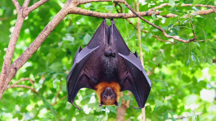 A new study led by the University of Sydney has revealed how invasive plants are posing a new threat to critically endangered flying foxes on Christmas Island